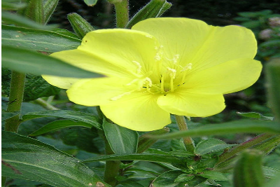 how to make evening primrose oil at home