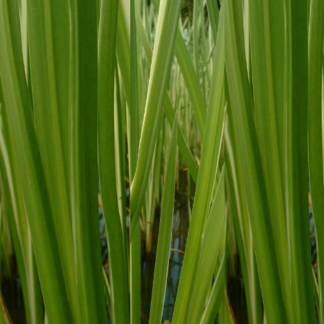 Ginger Grass